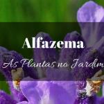 Alfazema no jardim