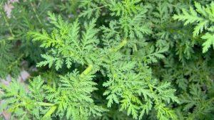 qing hao (Artemísia annua),