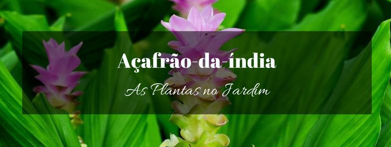 Açafrão-da-índia no Jardim